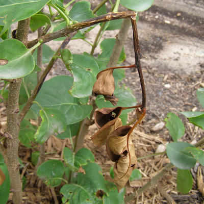 broken twisted stem with dead brown leaves hanging from a lilac plant