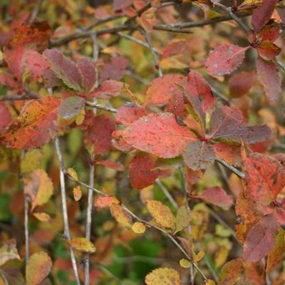 Close-up of barberry bush in autumn.