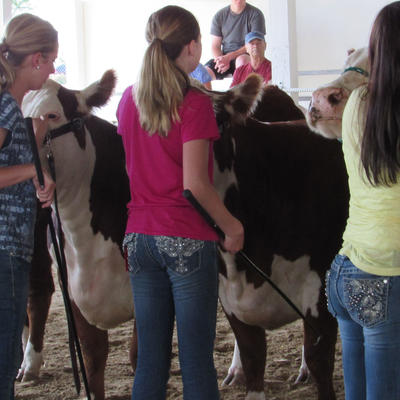 4 girls hold beef cattle in a line