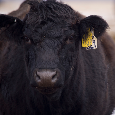 black angus cow with ear tag