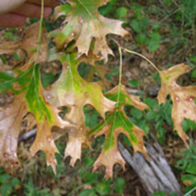 Oak wilt causes leaves to turn brown