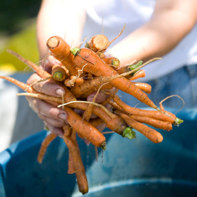 Person holding harvested carrots