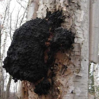 Chaga on a birch tree.