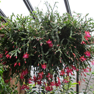 Christmas cactus in bloom with pink-red flowers growing in hanging basket