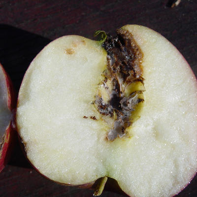 A half-cut apple with seeds and the core eaten