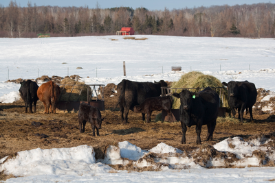 cattle feeding in snow covered field
