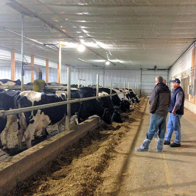 Two people standing in a long dairy barn with cows feeding