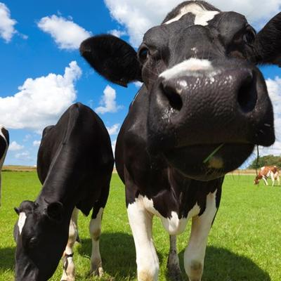 Close up of dairy cows walking toward the camera.