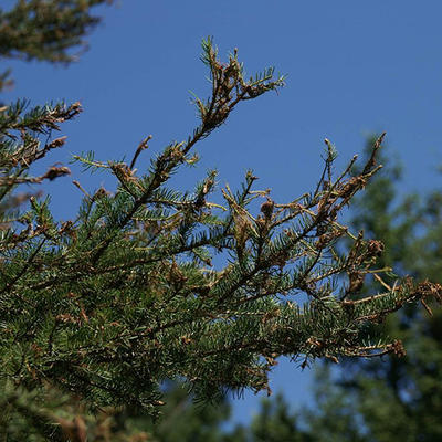 Browned needles on the tips of spruce branches.