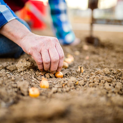Hand planting small onion bulbs in a row in dirt.