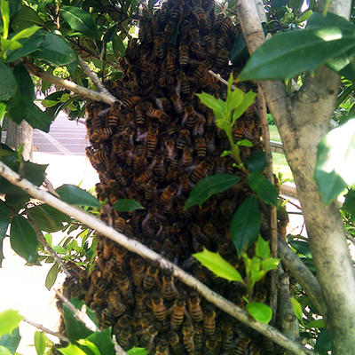large mass of bees swarming on a tree