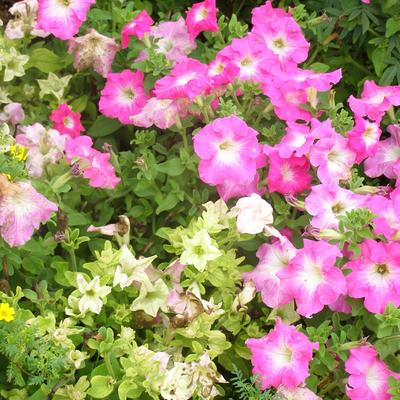 A petunia plant with discolored leaves and stunted, discolored flowers
