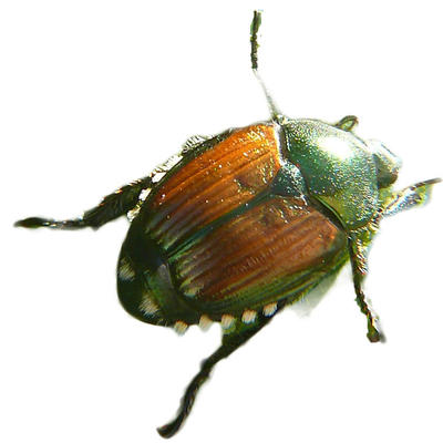 adult Japanese beetle. large, round bug with green head and orange back