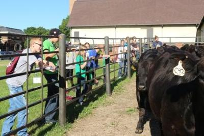 youth observing cattle