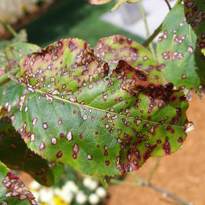 Leaf spot diseases of trees and shrubs | UMN Extension Green Spots On House Plants on green house lamps, green potted plants, green medicinal plants, living room plants, types of plants, green leafy houseplants, green house cars, indoor plants, green shade gardens, green plants for shade, green house trees, green arrow plants, green climbing plants, green house in hands, green leaf plants, green house space, green lady plant, green foliage plants, green plants names, green gift plants,