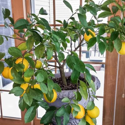 Growing Citrus Indoors Umn Extension