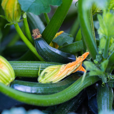 Green zucchini growing on plant with yellow and orange flowers