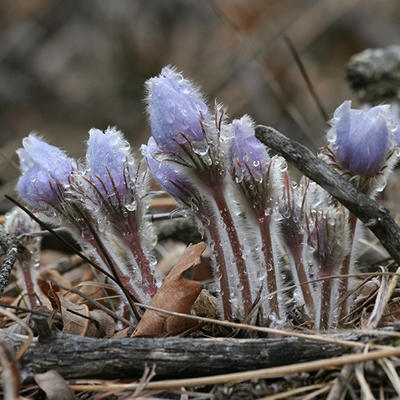 Pasque flowers with melting snow.
