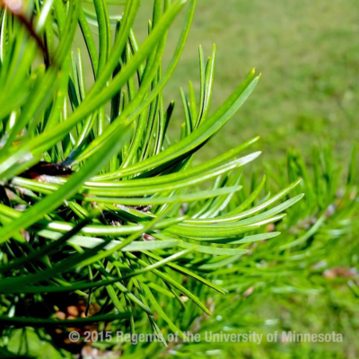 jack pine evergreen needles