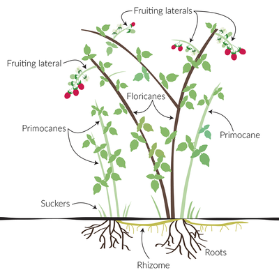 Diagram of the parts of a raspberry plant. Roots, rhizome, primocanes, floricanes, suckers and fruit are labeled.