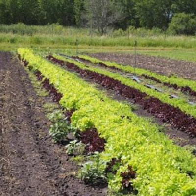 Rows of red and green lettuce.