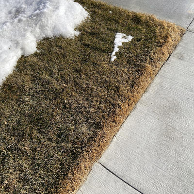 Salt damage on a patch of grass near a sidewalk.