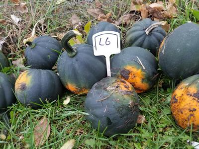Squash used for seed trials