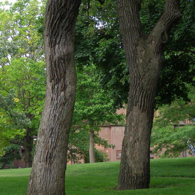 two oak trees in a yard. One has large area of smooth-looking bark on the lower trunk.