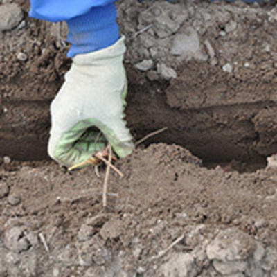 gloved hand planting dormant strawberry plant in trench in soil