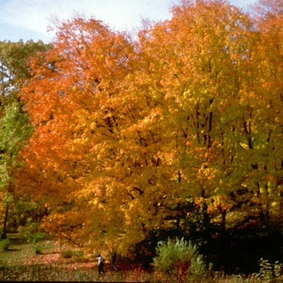 Large stand of trees with bright orange foliage in a wooded area.