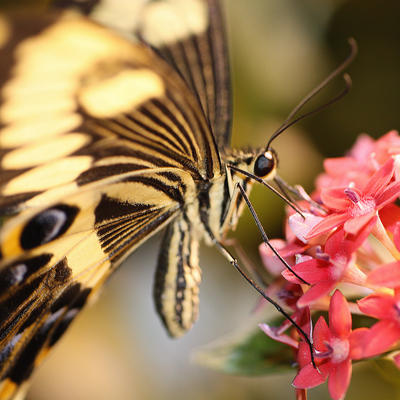 Black and gold striped swallowtail butterfly on pink flowers