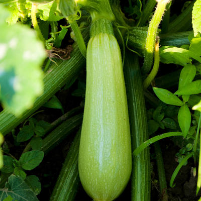 Green zucchini growing on plant
