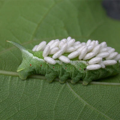 Wasp eggs on the back of a hornworm crawling on a leaf.
