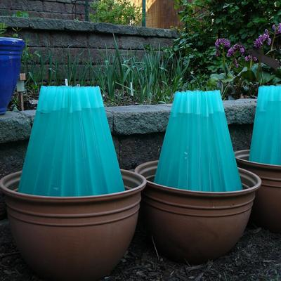 Blue water-filled tomato protectors in pots