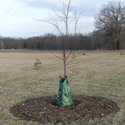 Young tree in grassy field with green plastic bag around base extending up to mid-trunk