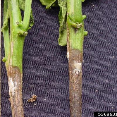 Two stems infected by white mold