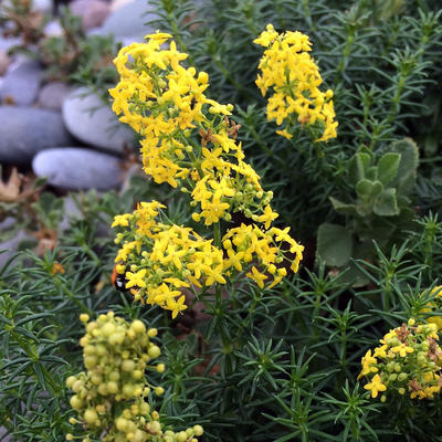 Tubular shaped yellow bedstraw flowers.