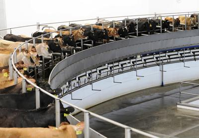 circular milking parlor with cows