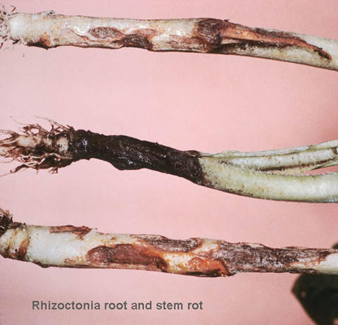 three lower plant stems each with lesions and decay.