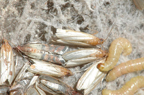 Pantry pests: Insects found in stored food | UMN Extension