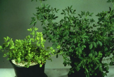two alfalfa plants in pots, one large and dark green, the other smaller with yellowing of the foliage
