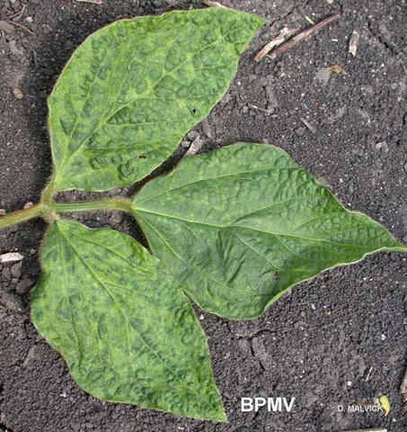 cluster of three soybean leaves with discolored spots.