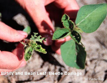 two soybean plants, one has no foliage due to bean pod mottle virus the other has holes in the leaves caused by leaf beatles.