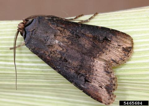 adult black cutworm with wings closed on a leaf.