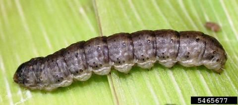 black cutworm larva stretched out on a leaf.