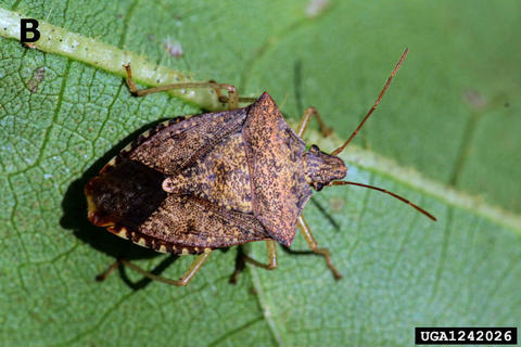brown stink bug on a leaf.
