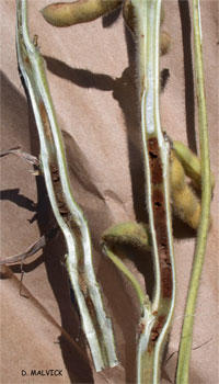 cut-a-way view of two soybean plant stems with brown pith.