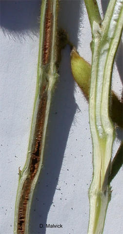 cut-a-way view of two soybean plant stems one with white pith the other with brown pith.