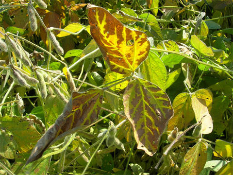 soybean leaves which are brown and yellow along the leaf veins.