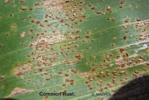 close up of corn leaf with raised brown spots.